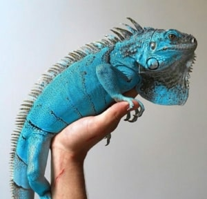 iguanas for sale