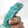 blue iguanas for sale