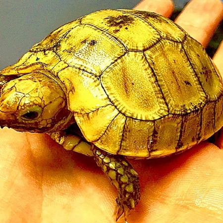 elongated tortoise for sale