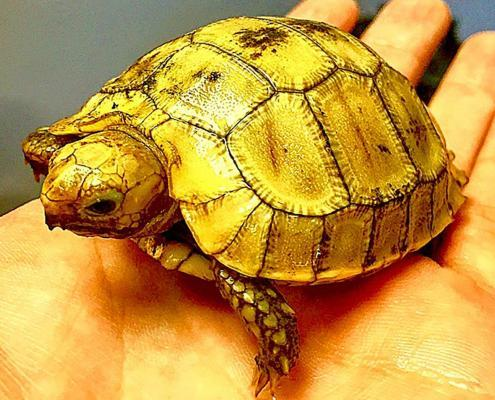 elongated tortoise for sale