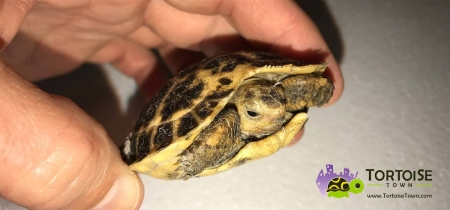 forsten's tortoises for sale