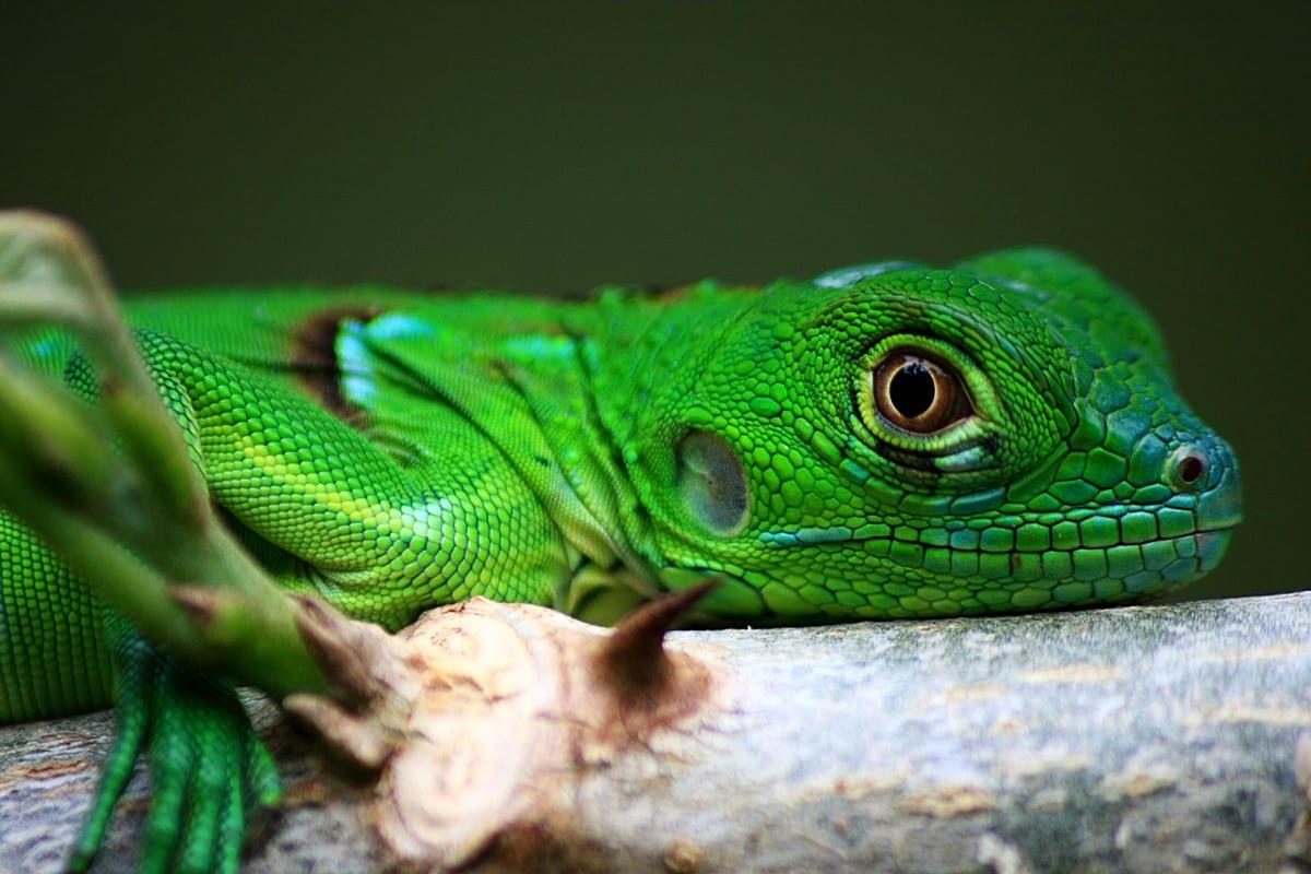 green iguana for sale & Green Iguana for sale online baby green iguanas for sale near me ... azcodes.com