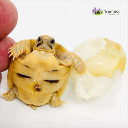 Kleinmann's tortoise for sale