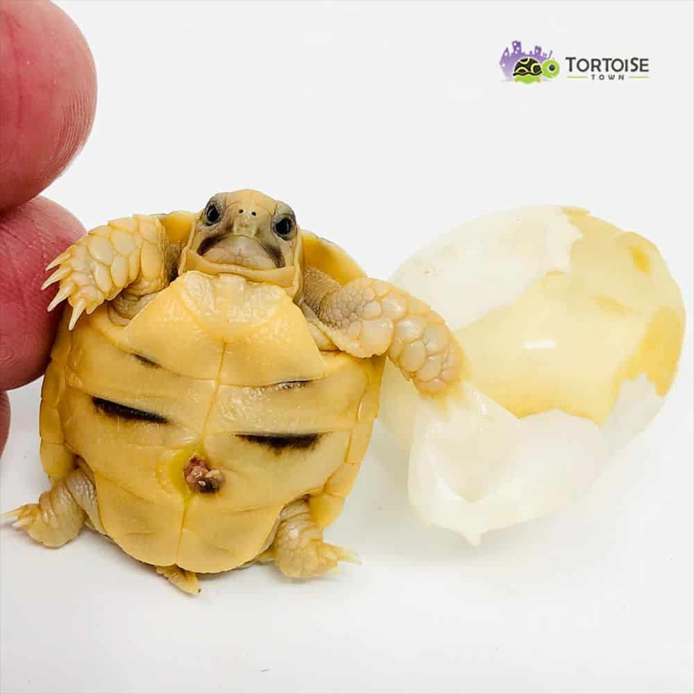 Kleinmann's tortoise for sale