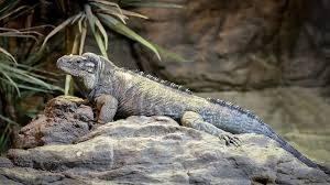 rhino iguanas for sale