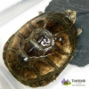 west African sideneck turtle for sale