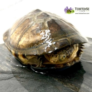 West African sideneck turtle