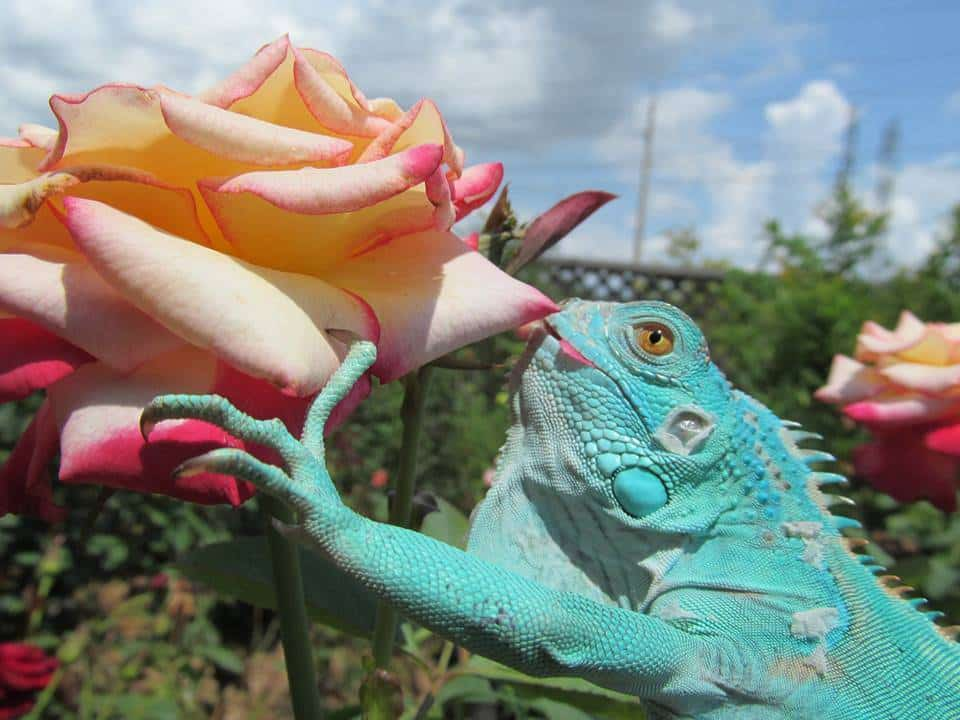Roses For Sale Near Me >> Blue Iguana for sale online | baby blue iguanas for sale ...