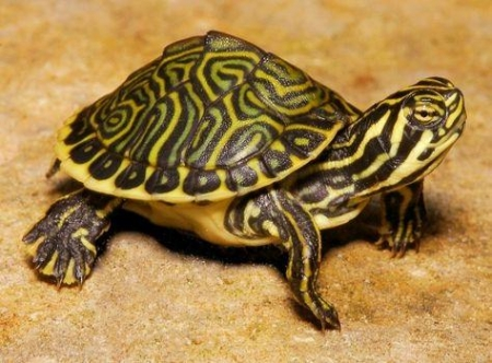 river cooter turtle for sale