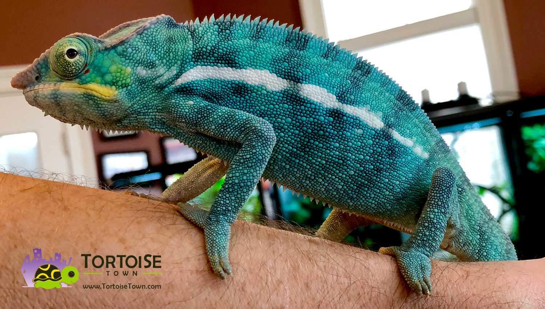 Blue Iguana For Sale : Iguana chennai free online classifieds for pets petschennai