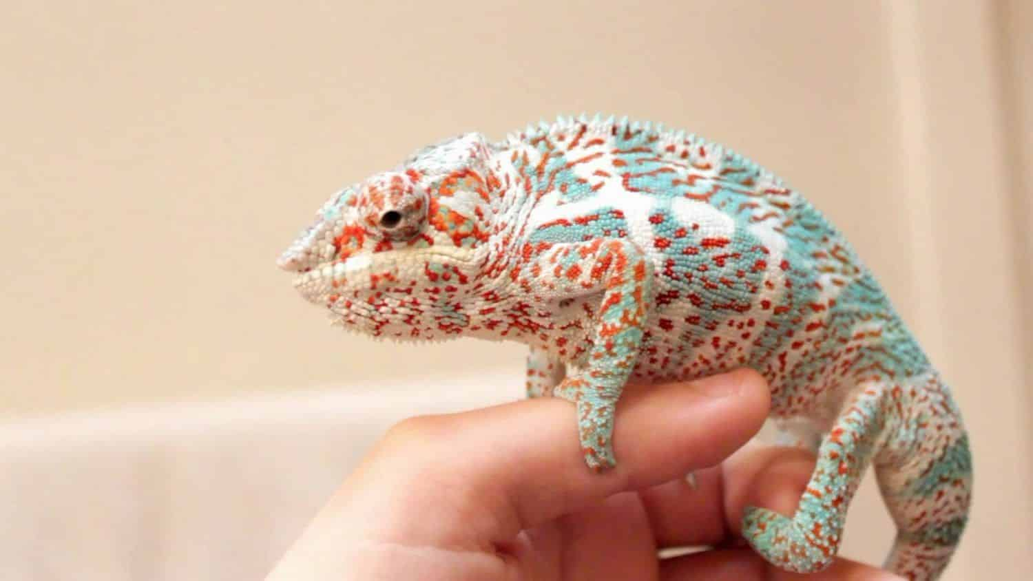 Nosy Faly Panther Chameleon For Sale Online Nosy Faly