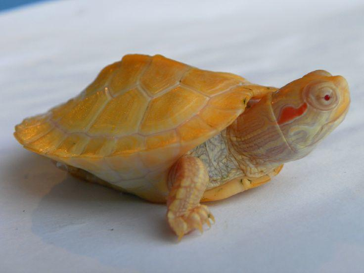 albino red eared slider for sale