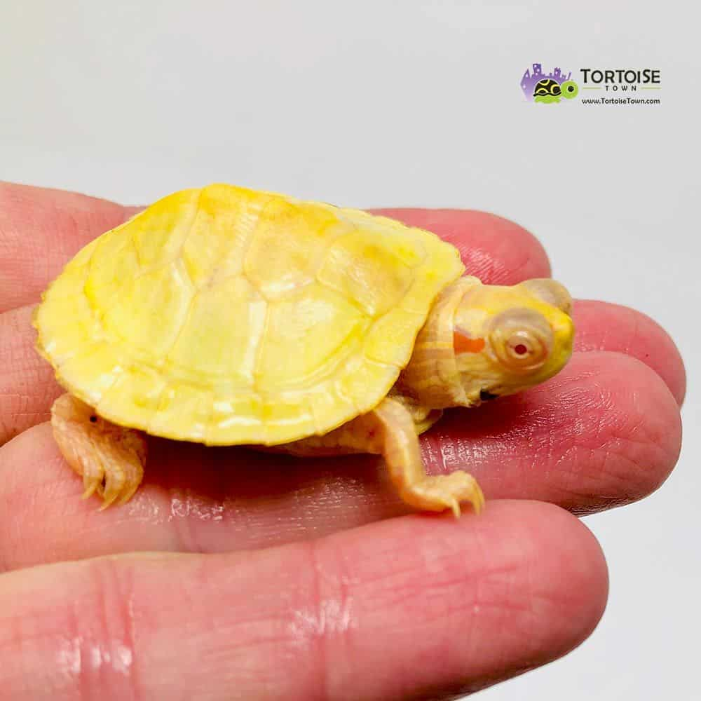 albino slider turtle