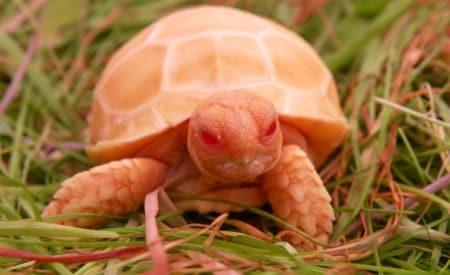 albino sulcata tortoise