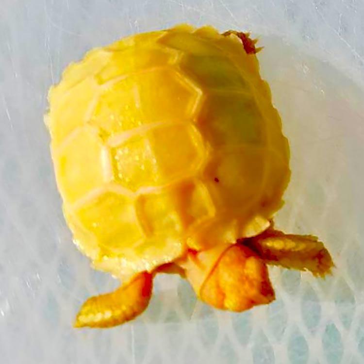 Albino Sulcata Tortoise For Sale Baby Albino Sulcata