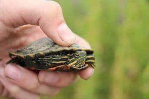 aquatic turtle for sale