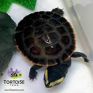 baby pink belly side necked turtle for sale