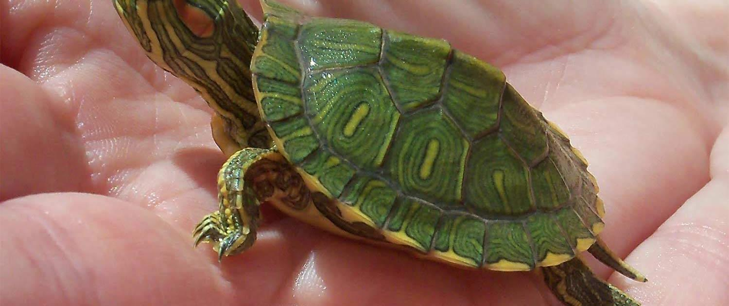 Dwarf Turtles For Sale Small Turtles For Sale Slider Spotted Terrapins