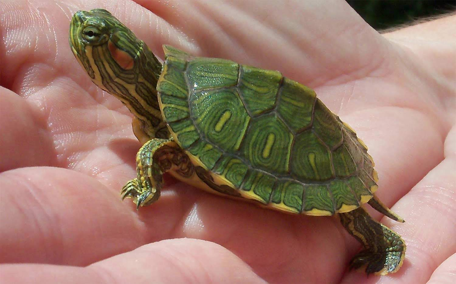 Redeared Slider Facts for Kids  NatureMapping