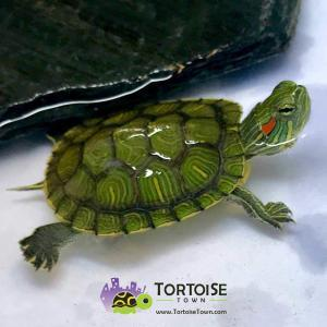 baby slider turtle for sale