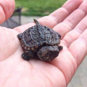 snapping turtles for sale