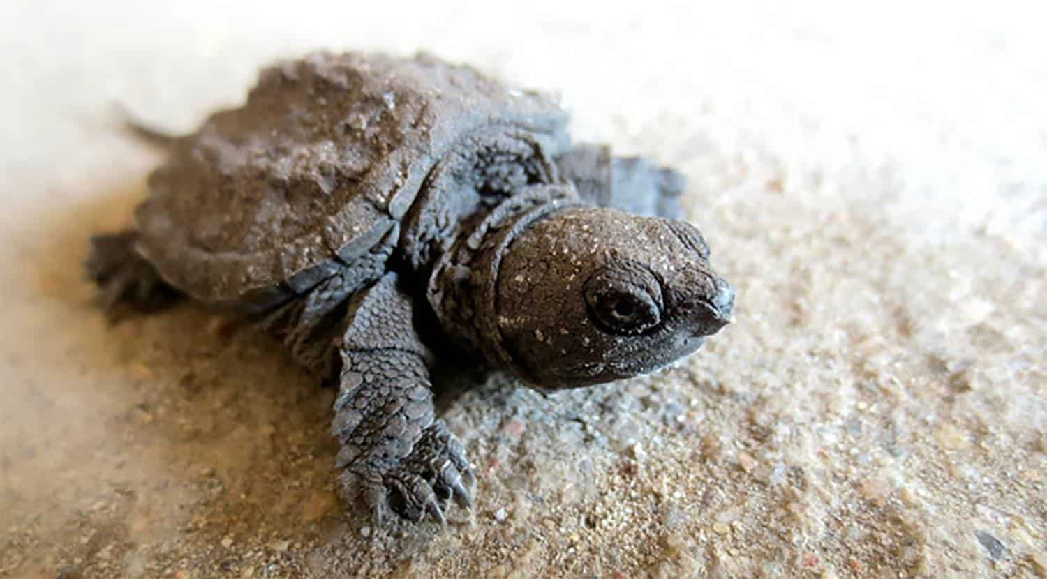 Common Snapping Turtle For Sale Baby Snapping Turtles For