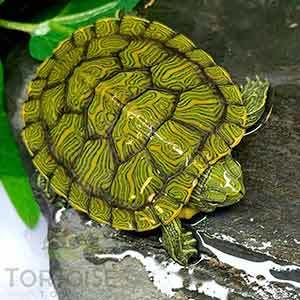 baby turtle for sale