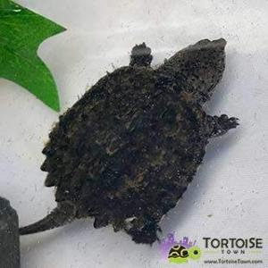 baby water turtles