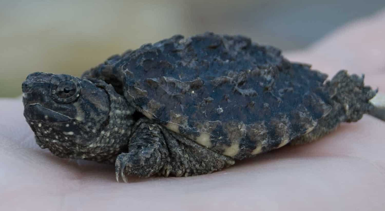 Baby Alligator Snapping Turtle Food