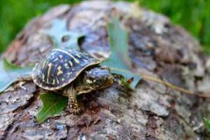 dwarf turtle for sale