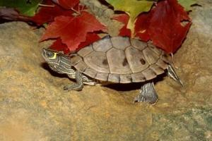 map turtle price
