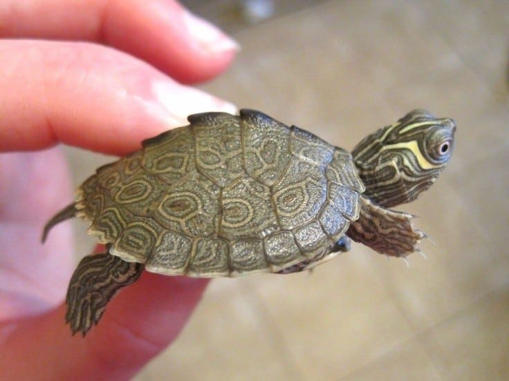 Mississippi Map Turtle Mississippi Map turtle for sale baby map turtles for sale online  Mississippi Map Turtle