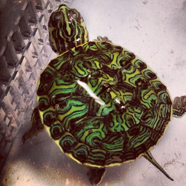 mississippi map turtle for sale | Tortoise for sale | baby ...