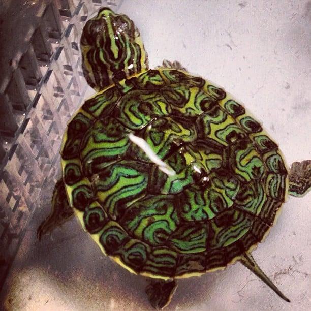 Mississippi Map Turtle for sale
