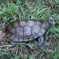 Mississippi map turtle for sale