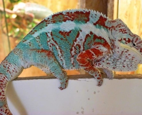 Nosy Faly Panther Chameleons for sale