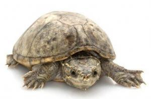 pet turtles for sale
