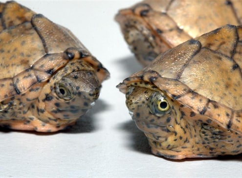 razorback musk turtles for sale