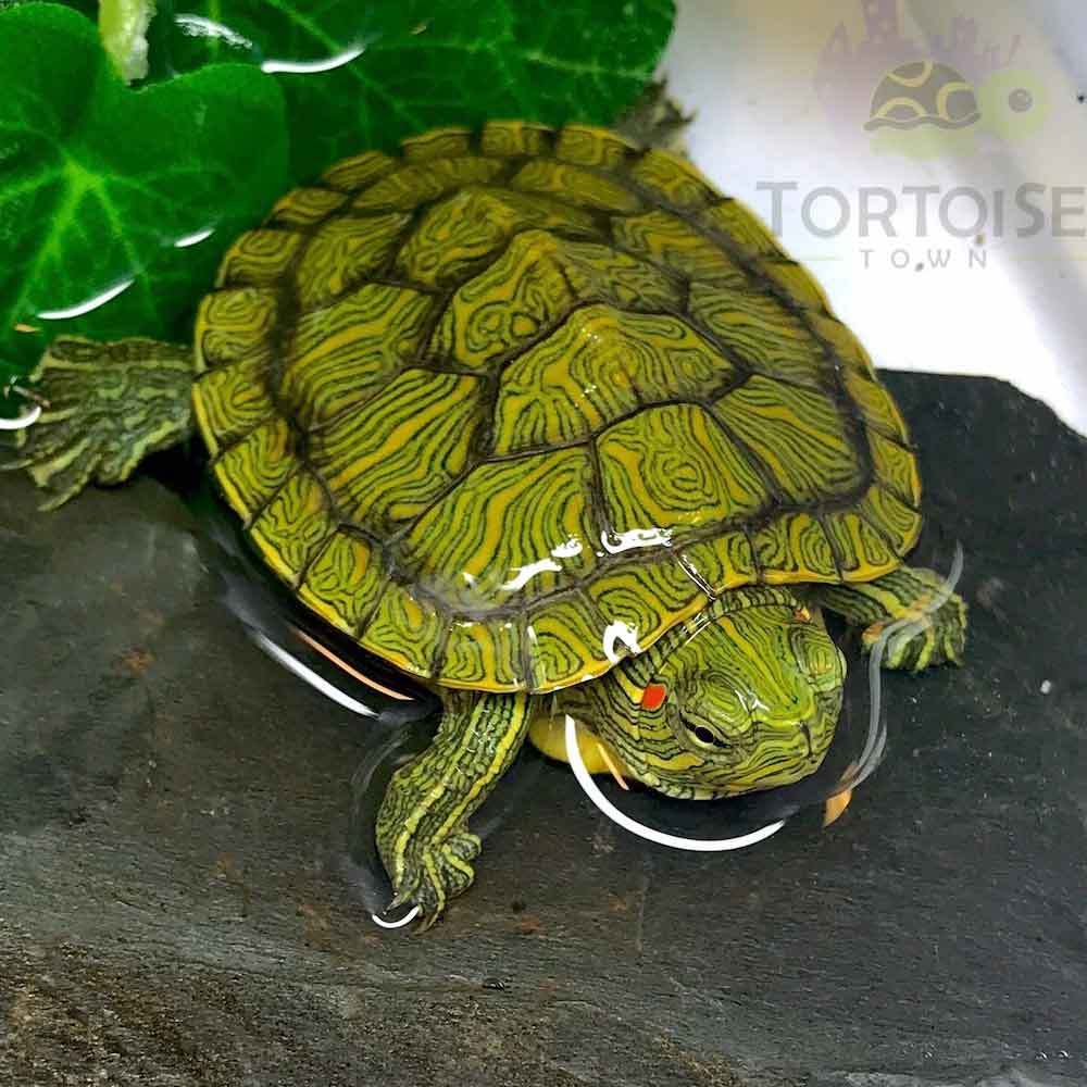 Red Eared Slider Turtle For Sale Online Baby Red Ear Slider