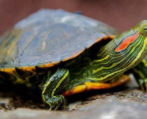 red ear slider turtle for sale