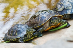 red ear slider turtles for sale