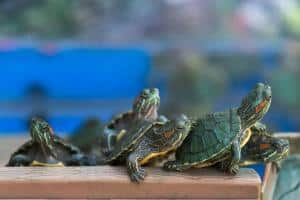 red eared slider babies for sale