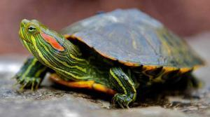 red eared slider turtles for sale