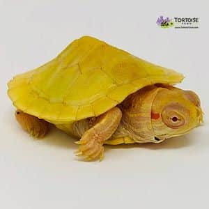 albino slider turtle for sale