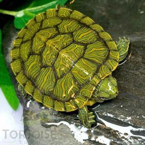 slider turtle for sale cheap