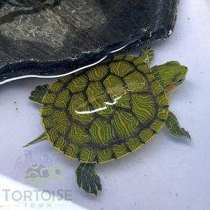 slider turtles for sale online