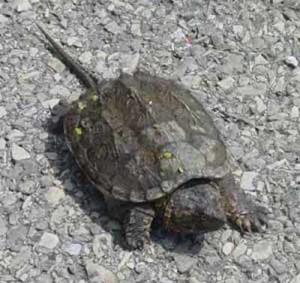 snapping turtle for sale near me