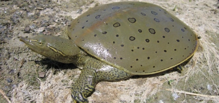 spiny softshell turtles for sale