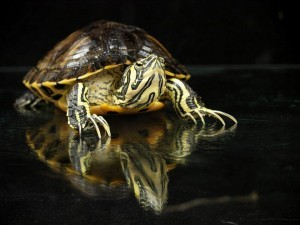 turtles for sale online