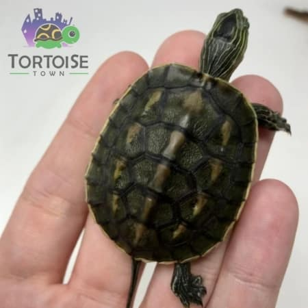 Chinese Golden Thread Turtle